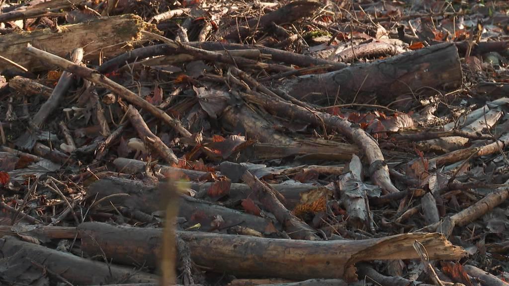 Borkenkäfer im Thurgau: Ist der Wald in Gefahr?
