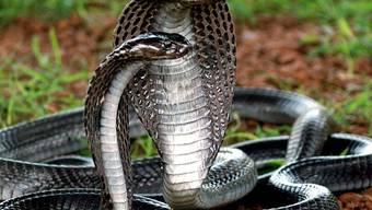 Auch 50 Kobras waren dabei (Symbolbild)