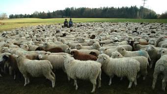 Das Bild von grossen Schafherden ist in unserer Region selten geworden.  Walter Schwager