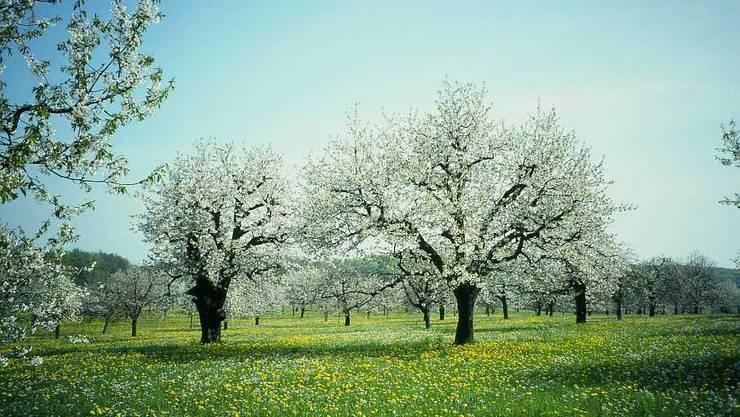Hochstammbäume