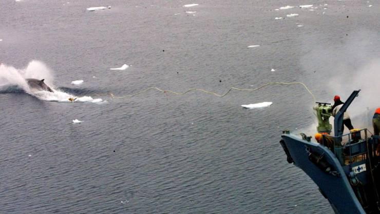Kommerzieller Walfang ist laut der Internationalen Walfangkommission nicht erlaubt: Deshalb stieg Japan letztes Jahr aus dem Abkommen aus. (Archivbild)