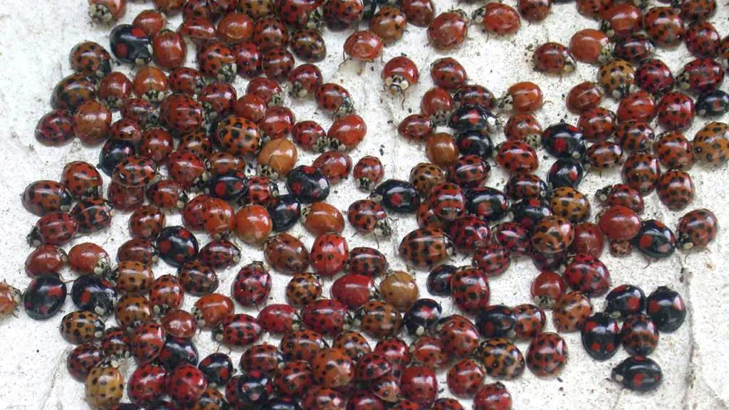 Invasion der «Liebgottchäberli»: Deshalb siehst du im Moment so viele Marienkäfer