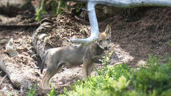 Ein Jungwolf des Stagias-Rudels.