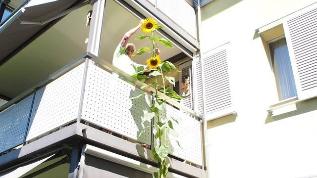 «Isch guet?»: Stefan Banu und Ehepaar Johanna und Edgar Gut vermessen die Sonnenblume.