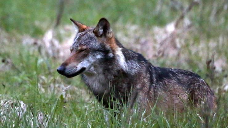 Im Oberwallis rissen Wölfe seit Anfang Jahr mehrmals Schafe. (Archivbild)