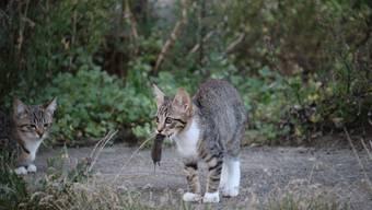 Endlich dient der Katze Fang einem höheren Zweck: der Wissenschaft.