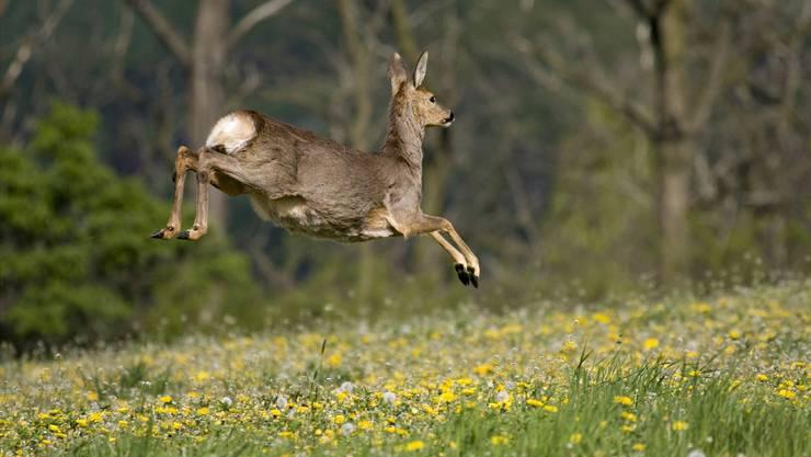 Rehe und Hirsche sind auf dem Vormarsch in der Schweiz, nachdem sie Ende des 19. Jahrhunderts praktisch ausgerottet wurden. Doch das Jagd- und Forstgesetz von 1875/76 schaffte Besserung. Heute zähle man in der Schweiz rund 30000 Hirsche.