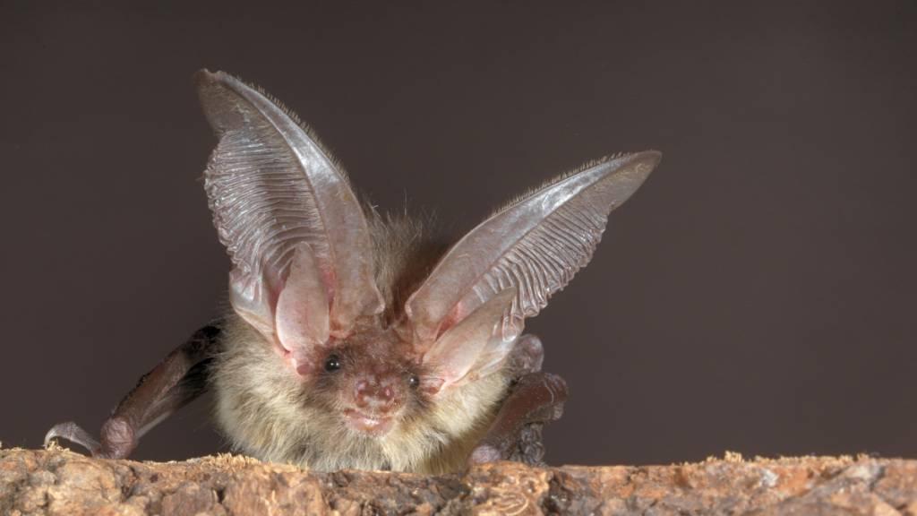Lichtscheue Fledermausarten wie das Braune Langohr leiden unter der zunehmenden Lichtverschmutzung in den Städten.