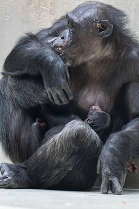 Das Junge hat den Namen Qisenge erhalten. Jedes Jahr wechselt der Anfangsbuchstabe der Jungtiernamen im Zoo Basel.