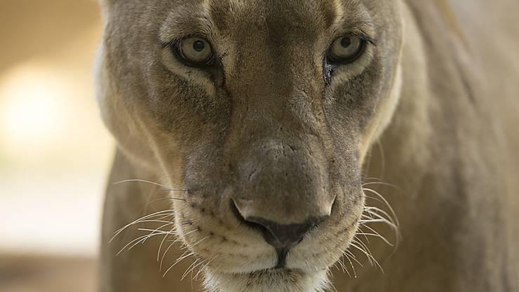 """Die """"Stiftung Tier im Recht"""" hatte den Circus Royal im August wegen einer Dressurnummer mit Löwinnen angezeigt. (Symbolbild)"""