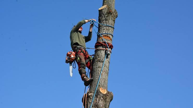 An der Zürcherstrasse habe es daher nun eine Baumlücke, die den Schlieremer Stadtrat stört. (Themenbild)
