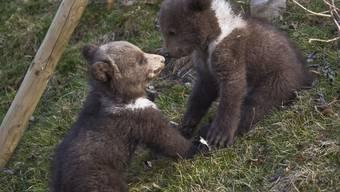 Berner Bärennachwuchs