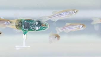 Der Fisch-Roboter soll helfen, die Kommunikation der Zebrafische im Schwarm besser zu verstehen.