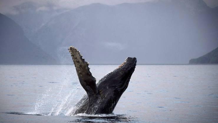Erwachsene Buckelwale können ganz schön laut sein mit ihren Gesängen. Die Waljungen flüstern hingegen lieber mit ihren Müttern, um unentdeckt zu bleiben. (Archivbild)