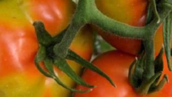 Das Tomatenvirus nähert sich der Schweiz. Es kann zu unregelmässigem Wachstum oder Verfärbungen bei Tomaten führen.