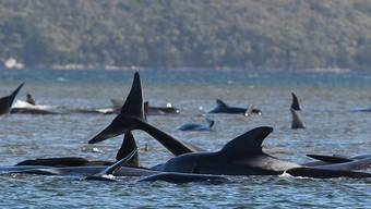 A pod of whales, believed to be pilot whales, have become stranded on a sandbar at Macquarie Harbour, Tasmania, Monday, September 21, 2020..(AAP Image/The Advocate, Pool) NO ARCHIVING
