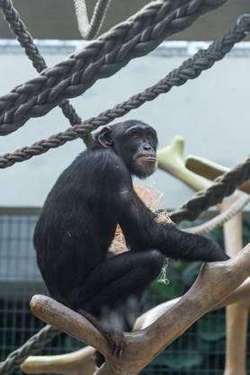 Der Zoo Basel hat drei neue Schimpansen aus den Zoos Leipzig und Osnabrück erhalten. Kume (10) ist einer davon.