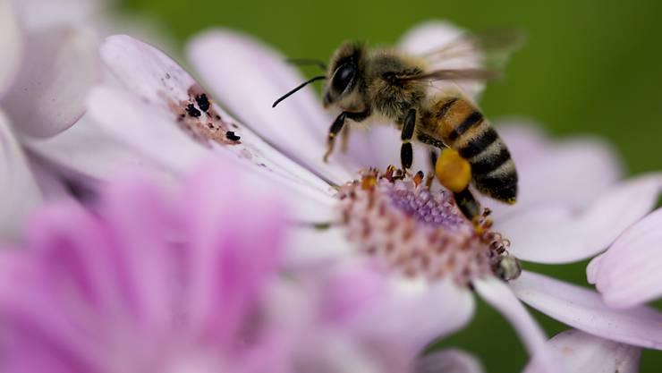 Die Bienen gehören in der Schweiz zu den bedrohten Arten (Archiv)