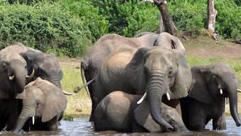 Tierschützer warnen, die Jagd auf Botswanas Elefanten sei besorgniserregend für die Erhaltung der Art. Bisher galt das Land noch als sicherer Hafen für die Dickhäuter.