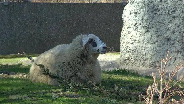 Katarrhal-Fieber im Tierpark Dählhölzli