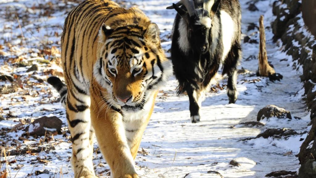 Timur (r.) und Amur waren international in den Schlagzeilen, als der Tiger mit dem ursprünglich als Futter gedachten Ziegenbock friedlich ein Gehege teilte. (Archivbild)