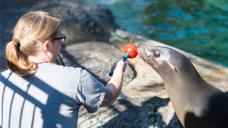 Ramona Schröter beim Training mit den Seelöwen-Weibchen.