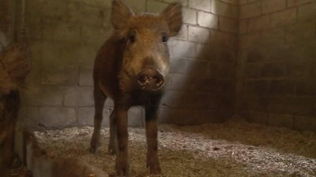 So schweinisch treiben es diese Wildschweine