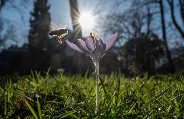 Eine Biene fliegt eine Krokus an – und das im Winter.