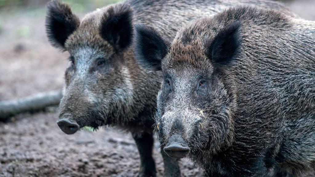 «Hohes Risiko»: Nach Coronalockerungen warnt Bund vorder Schweinepest
