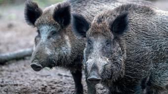 Für Wildschweine – aber auch für Mastschweize – endet die Schweinepest fast immer tödlich. (Symbolbild)