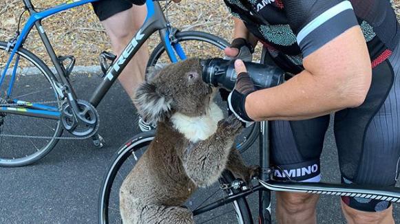 Sehr durstiger Koala «überfällt» Velofahrer