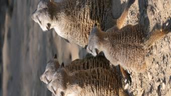 Die Erdmännchen-Familie im Zolli Basel kriegt von den finanziellen Einbussen des Tierparks nichts mit. (Archivbild)
