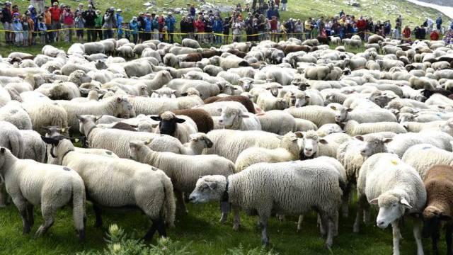 """850 Schafe wurden mit """"Gläck"""" gefüttert"""