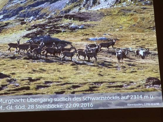 28 Steinböcke am Schwarzstöckli GL Süd auf 2314 m.ü.M   grosse Glücksfall