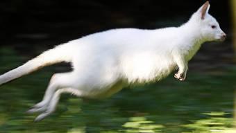 """Das Duisburger Albino-Känguru """"Nala"""" springt nicht mehr - es wurde von einem Fuchs gerissen (Archiv)"""