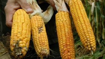 Anbau-Verbot in Frankreich aufgehoben: Gen-Mais (Archiv)