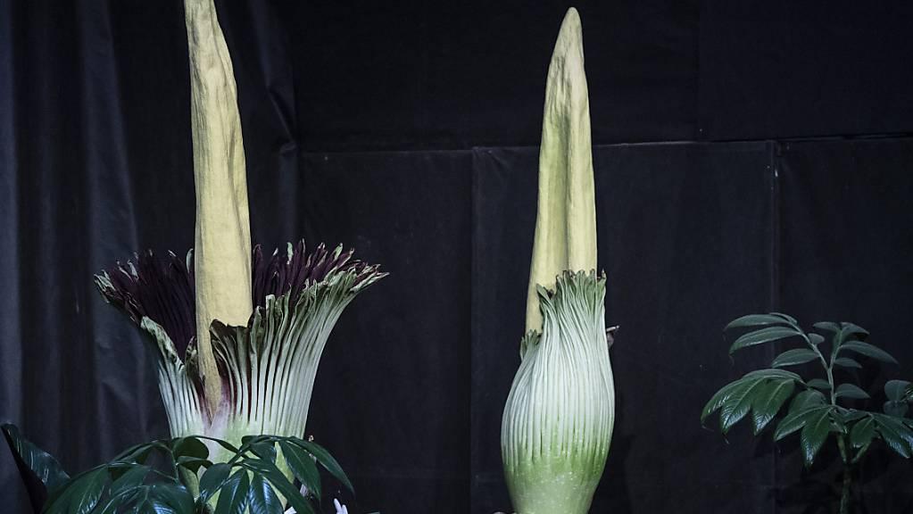 Titanwurz-Blumen im Papiliorama in Kerzers FR. Die grösste Blume der Welt blüht etwa alle zwei Jahre.