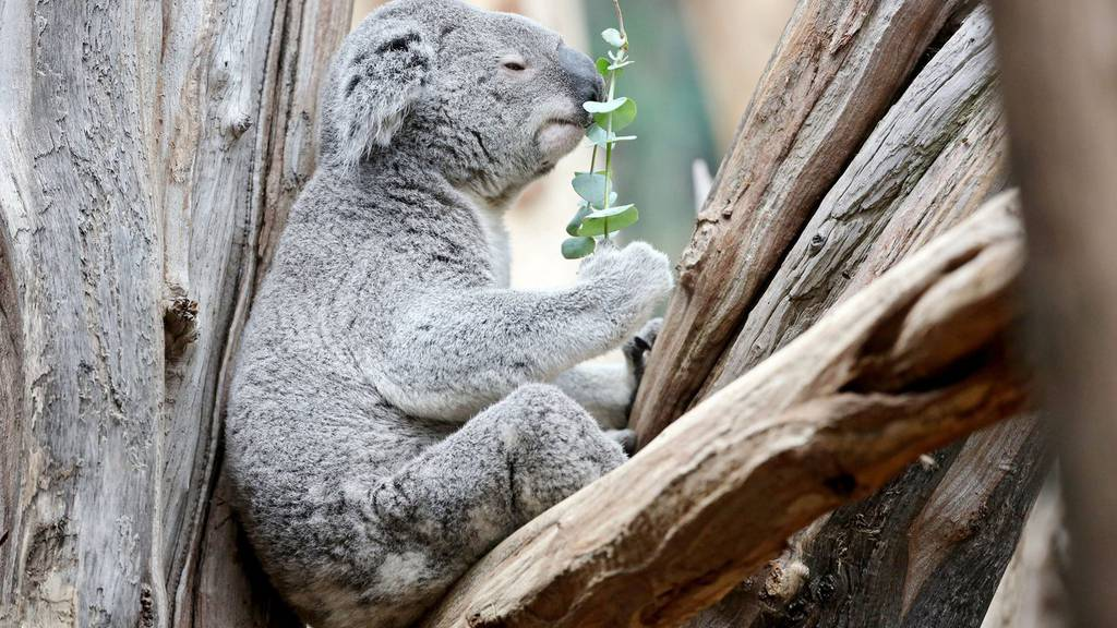 Die ersten Koalas sind im Züri-Zoo eingetroffen - so süss sind sie