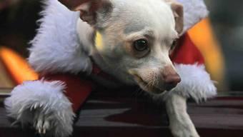 Ein Chihuahua und sein Herrchen wurden in Malters LU von einem Schäferhund gebissen. (Symbolbild)