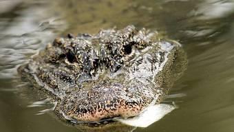 Alligator überlebte Flucht bestens (Symbolbild)