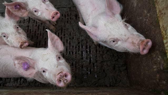 Streitpunkt: Ein Schweinestall (Symbolbild)