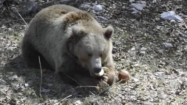 Gut gereist: Die Berner Bärenfamilie erkundet ihre Sommerresidenz.