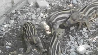 Bei den Wildschweinen im Wildpark Roggenhausen ist einiges los. Gestreifte Frischlinge sind unterwegs. Die Mutter kümmert sich gut um ihre Jungen und erkundet mit ihnen das Gehege. Geboren sind die drei Männchen (Keiler) und ein Weibchen (Bache) am Sonntag, 18. Juni.