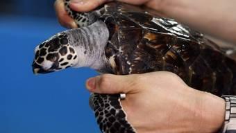 Karettschildkröten sind durch Washingtoner Artenschutzübereinkommen geschützt (Archiv)