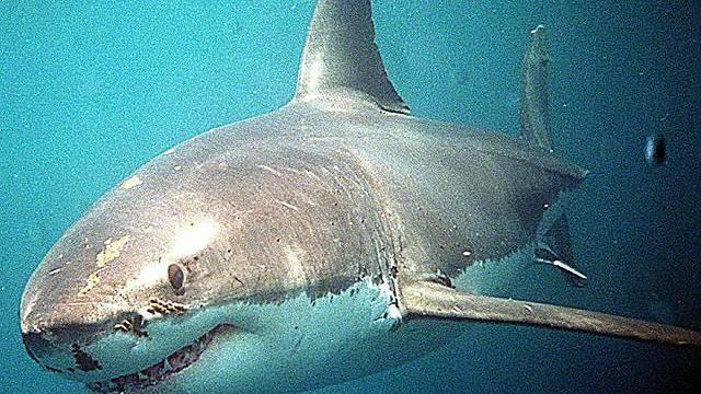 Haifischweibchen in den Gewässern von Neuseeland