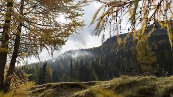 Die herbstliche Idylle trügt: Im Schweizer Nationalpark im Engadin quält die Gämsblindheit Steinböcke und Gämsen (Archiv).