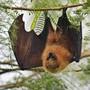 Fledermäuse übertragen häufig Krankheiten auf Menschen. (Symbolbild)