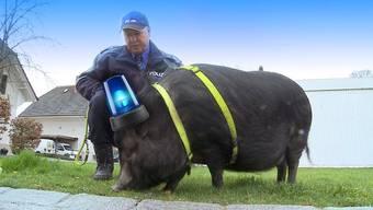 Die Auflösung des Aprilscherzes von Tele M1: «Moe» istdoch nicht das neue Polizeischnüffelschwein der Repol Lenzburg. Diese erhielt nach dem 1.-April-TV-Beitrag allerdings einige Reaktionen.