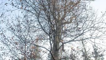 Sogenannte Biotopbäume wie dieser hier in Uster bieten einer Vielzahl von Lebewesen Nahrung, Schutz oder Lebensraum.
