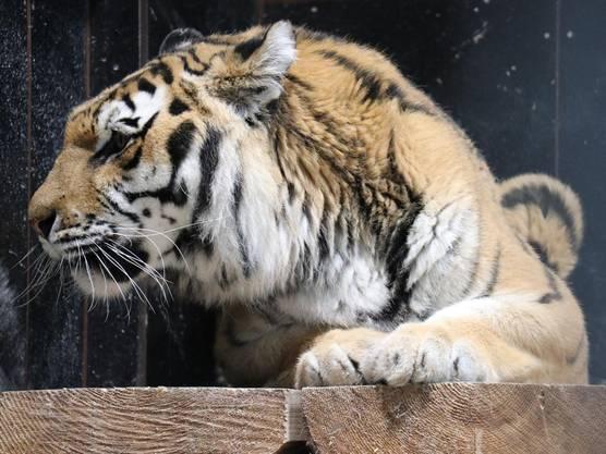 Auch Tigerdame Rani darf ihren Ruhestand im Park geniessen